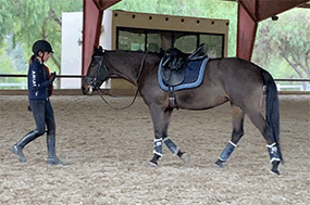 lovely Andalusian/Quarter-horse Mare available for 1/2 Lease